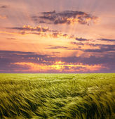 Greed Wheat Field and Beautiful Sunset Sky — Stock Photo