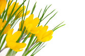 Yellow Spring Flowers isolated on white - Crocus — Stock Photo
