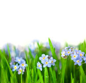 Small Blue Flowers into green Grass - isolated on white backgro — Stock Photo