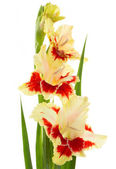 Beautiful fresh gladiolus isolated — Stock Photo