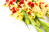 Red and yellow bright colorful gladiolus - horizontal -  isolated — Stock Photo
