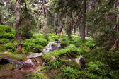 Old forest in the mountain -   stones, moss and pine trees. — Stock Photo