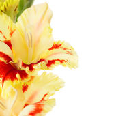 Beautiful colorful gladiolus isolated square background — Stock Photo