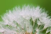 White Dandelion seed with water drops on green — Photo