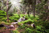 Old forest in the mountain -   stones, moss, sunbeams  and pine  — Stock Photo