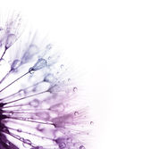 Dandelion with water drops -  color silhouette on white — Stock Photo