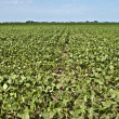 Soybean crop — Stock Photo