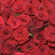 Many red roses  — Stock Photo