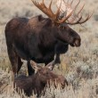 Moose — Stock Photo #30519171