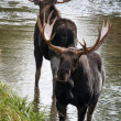 Moose — Stock Photo #30519267