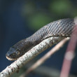 Northern water snake — 图库照片