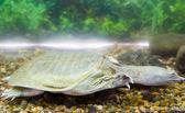 čínská želva — Stock fotografie