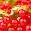 Viburnum closeup — Stock Photo