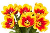 Tulips bloom bouquet — Zdjęcie stockowe
