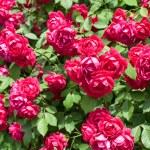Roses garden — Stock Photo