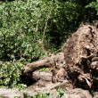 Tree fallen — Stock Photo