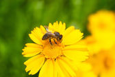 Bee flower daisy — Foto Stock
