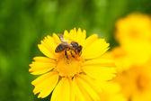 Bee flower daisy — Zdjęcie stockowe