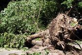 Tree fallen — Stock Photo