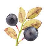 Bilberry group leaves — Stock Photo