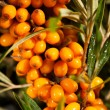 Buckthorn branch closeup — Stock Photo
