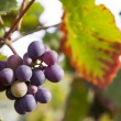 Grapes in vineyard — Stock Photo