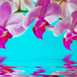 Orchid — Stock Photo #13580862