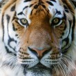 Wild tiger face - Stock Photo