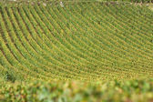 Vineyard in burgundy, france — Stock Photo