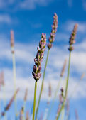 Wild lavendar against blue sky — Stock Photo