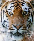 Wild tiger face — Stock Photo