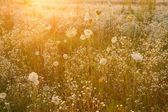 Summer wildflower meadow — Stock Photo