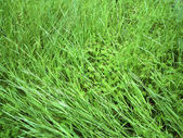 Nahaufnahme der üppigen grünen gras im sommer — Stockfoto