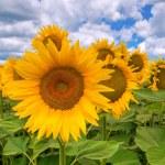Sunflower field. — Stock Photo #17445013