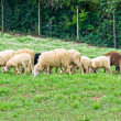 Herd of sheep. - Stock Photo