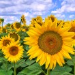 Sunflower field. — Foto de Stock   #21438817