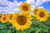 Zonnebloem veld. — Stockfoto