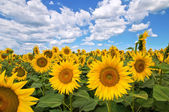 Sunflower field. — Foto de Stock