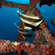 Stock Photo: Two Pennant Bannerfish