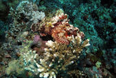Raggy Scorpionfish — Stock Photo