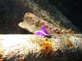 Růžová nudibranch — Stock fotografie