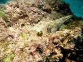Blackspotted Pufferfish — Stock Photo
