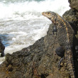 Iguana on iron shore formation at beach — Stock Photo
