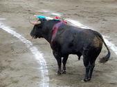 Bull inside the arena. bull in the bullfighting. — Stock Photo