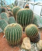Cactus en invernadero — Foto de Stock