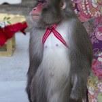 Japanese monkey street performers — Stock Photo