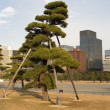 Giant bonsai, Imperial Palace, Tokyo - Stock Photo