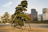 Giant bonsai, Imperial Palace, Tokyo — Stock Photo