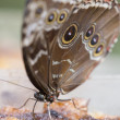 Morpho Butterfly on Reed — Stock Photo