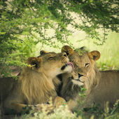 Loving pair of lion and lioness — Stock Photo